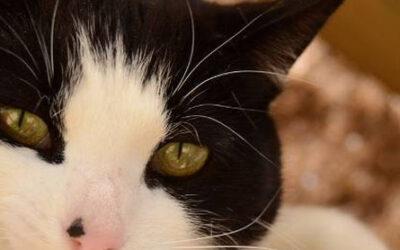 ¿Esta tu gato sano? Lista de chequeo de salud felina.